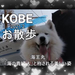 サモエドさくらKOBEお散歩美しい海王丸が寄港していたよ✨2021.2