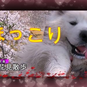 サモエドさくらほのぼのお花見散歩2021.3