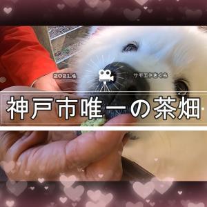 サモエドさくら神戸市唯一の茶畑でお茶でほっこり癒されたよ✨2014.4.10