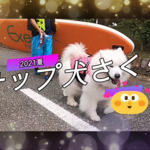 サモエドさくらSUPサップ犬さくら2021夏