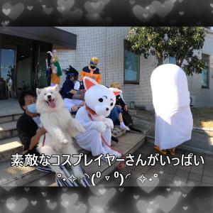 サモエドさくら可愛いコスプレ犬がいたよKOBEALIVE2021 コスKOBE202