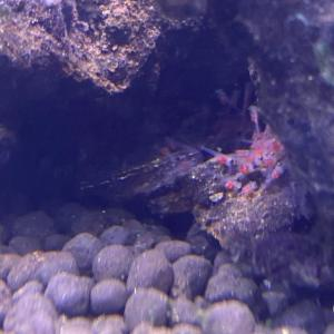 アピストグラマ.sp.ディアマンテ 産卵・孵化