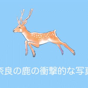 日本の「奈良の鹿」が連休で観光客が多すぎて信じられない姿を晒してしまう!【タイ人の反応】