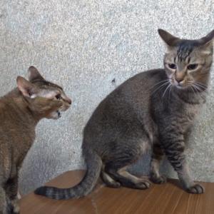 【動画あり】猫が口をむにゃむにゃしながら喧嘩してる様子が可愛い