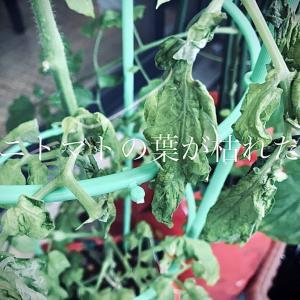 ピンチ!ミニトマトの葉が枯れた?ベランダで袋栽培したことで考えられるデメリットと改善点。