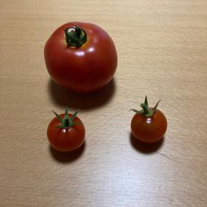 トマト祭りスタート?