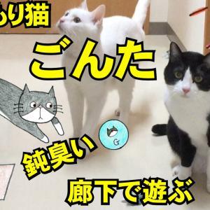 八割れ 引きこもり猫 鈍臭い猫 遊ぶ