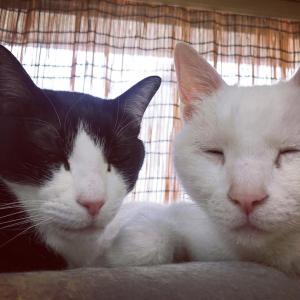 当院のオヤジ猫たち