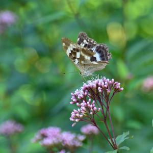 フジバカマと蝶