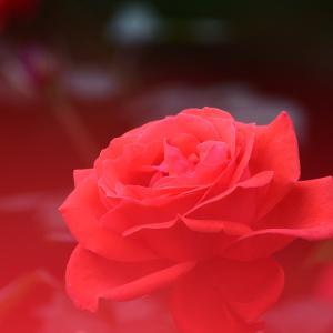 智光山公園の秋バラ