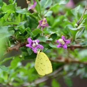 クコの花とキチョウ
