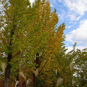 川越水上公園のイチョウ並木