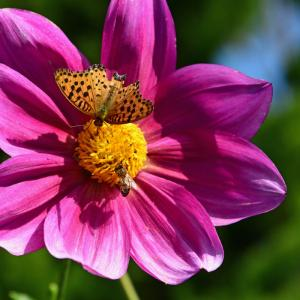 ダリアの花に蝶と蜂