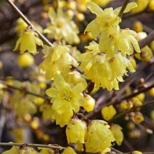 川越市 西福寺の蝋梅