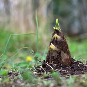 亀甲竹の筍