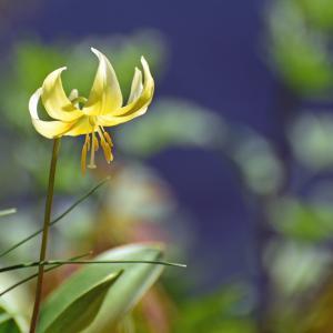 黄花カタクリの花