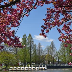 川越水上公園の八重桜と菜の花