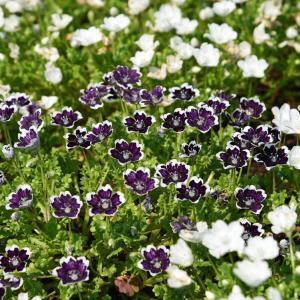 紫色のネモフィラ