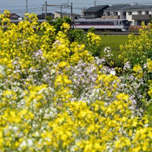 西武新宿線 特急レッドアローと菜の花