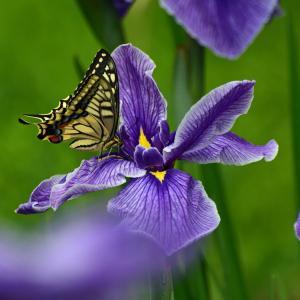 花菖蒲とキアゲハ