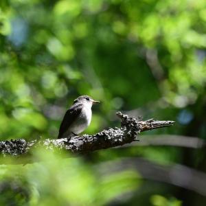 野鳥 コサメビタキ
