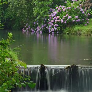 智光山公園の紫陽花
