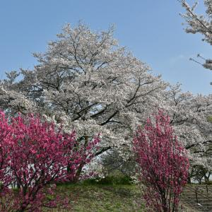 桜と花桃が満開