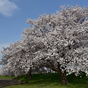 入間川 桜並木