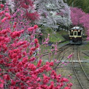 わたらせ渓谷鉄道と花桃