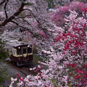 花桃いっぱいのわ鐵沿線