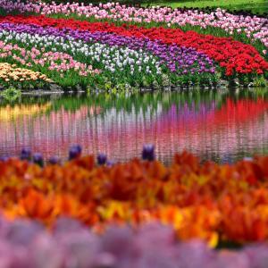 昭和記念公園のチューリップ畑