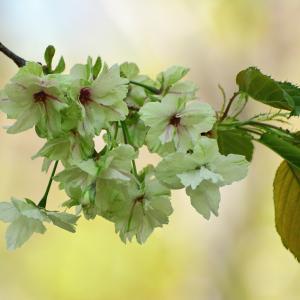 黄緑色の八重桜 「ウコン」