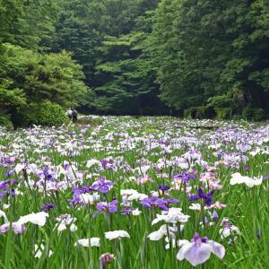 智光山公園の花菖蒲