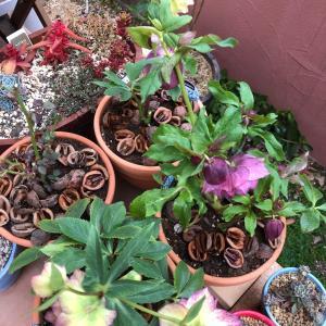 薔薇の植え替え(*´∀`*)白い木箱の寄せ植え