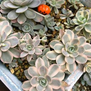 植え替え、葉挿しと秋作業*ピンク繋がり