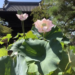 蓮の花・真夏の多肉( ̄▽ ̄)
