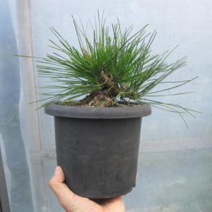 プラ鉢入りの素材黒松の葉透かしと差し枝の短縮と肥やしやり