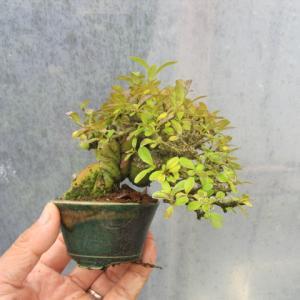 こんなのがイボタの黄葉です