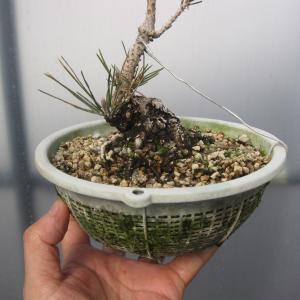 ざる育ちの黒松のボチボチな針金整枝