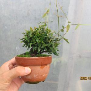 チビのチリメンカズラに20番とつけて、追い込んでから葉を毟る