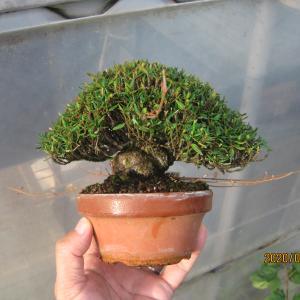 チリメンカズラ17番のヤゴ芽切るのと取り木の