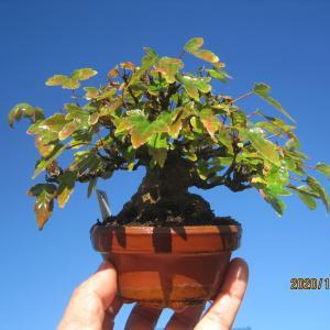 棚場の清掃と整理で、楓たちは葉を落としたり切り戻してコンパクトに その3