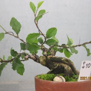 ローヤ柿10番を整枝する