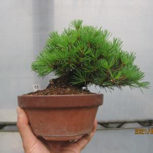 五葉松01番の葉を透かして、ちょっと枝を抜き整枝する