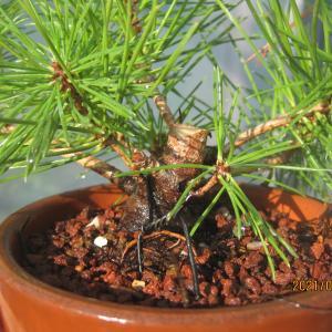降って湧いた黒松の取り木の件
