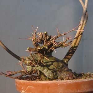 諦めずに根接ぎ枝接ぎでナントカしようとしている楓
