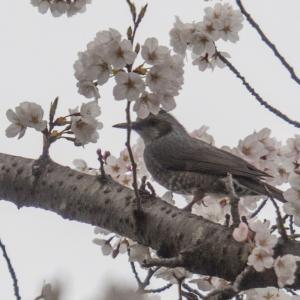 春の太平山、謙信平の桜とヒヨドリと