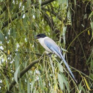 オリンパスペンで撮影した野鳥(オナガとムクドリ)