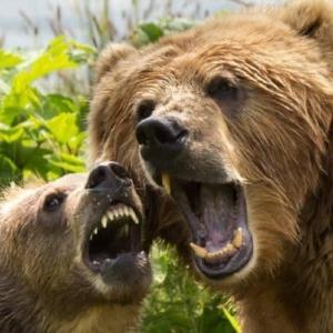 島の熊は三頭の子牛を襲った オハ市