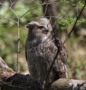 天然記念物シマフクロウの保護・増殖事業 環境庁